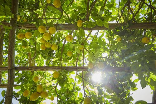 The Amalfi Lemon Tour is an experience for the senses