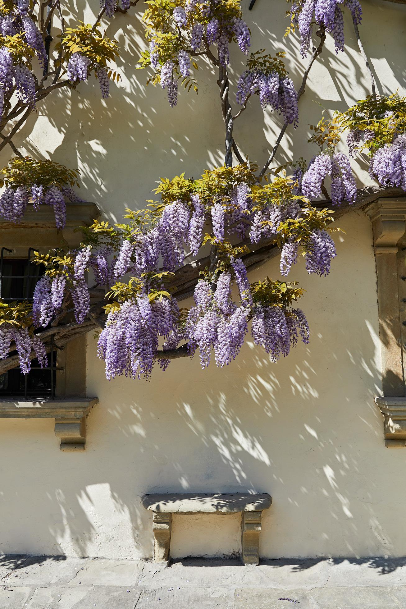 Century-old wisteria in bloom